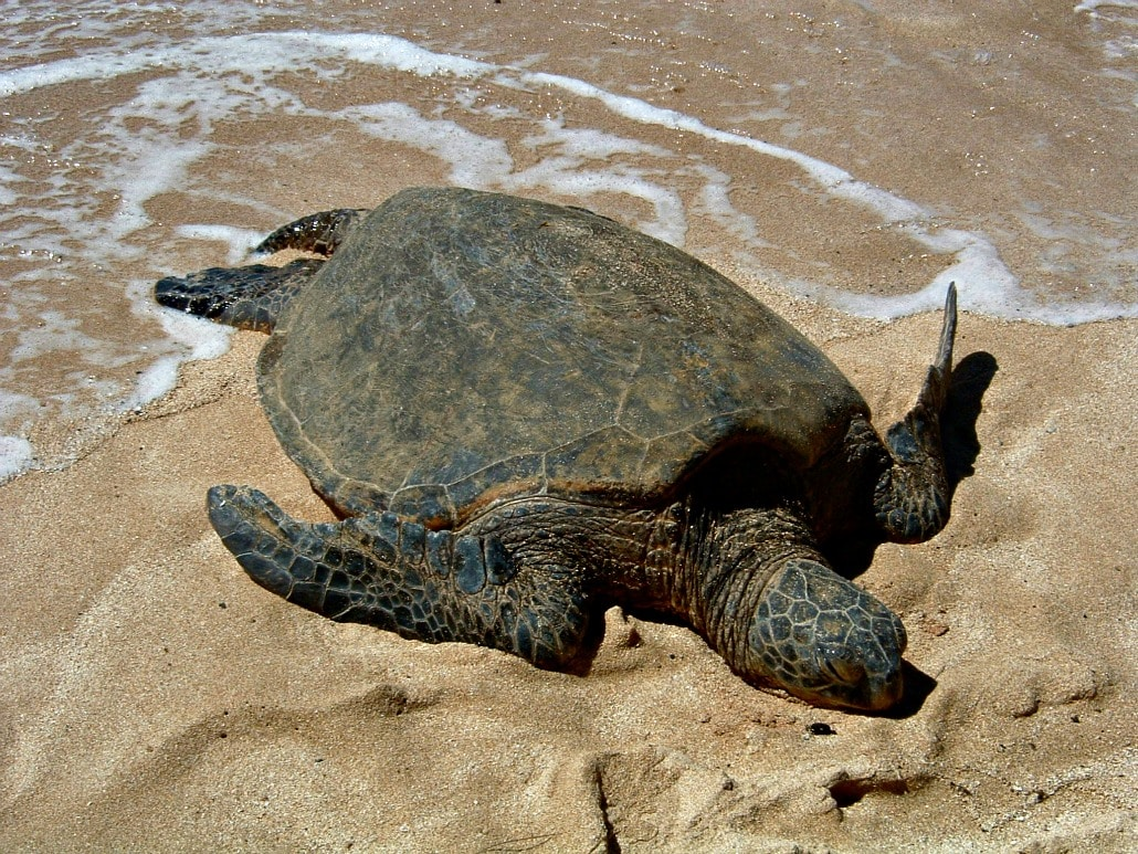 a sea turtle laying on a sandy beach in the sun with ocean water reaching it's back feet