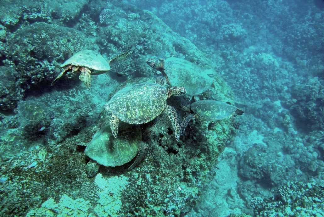 a bunch of sea turtles swimming under water