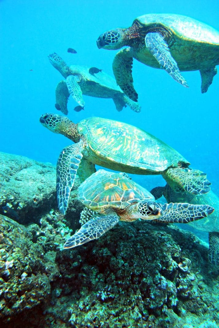 four sea turtles swimming under water above a rock