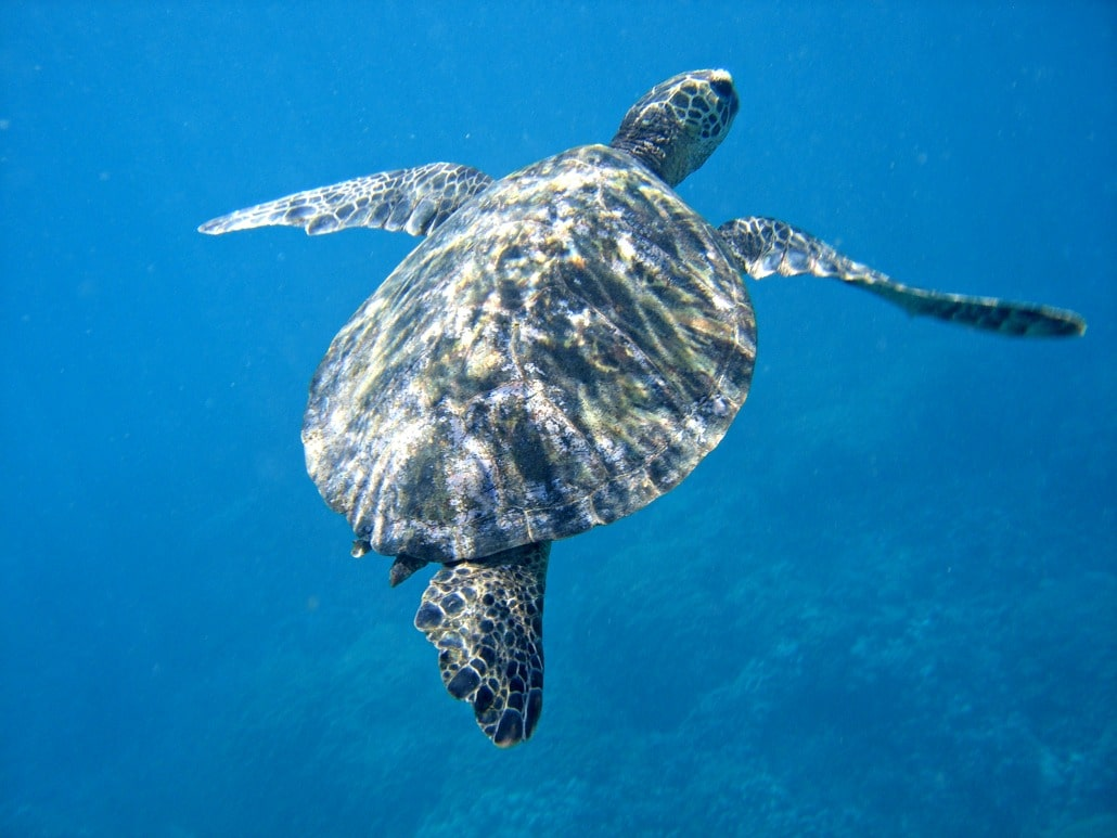 a sea turtle with 3 legs swimming under water