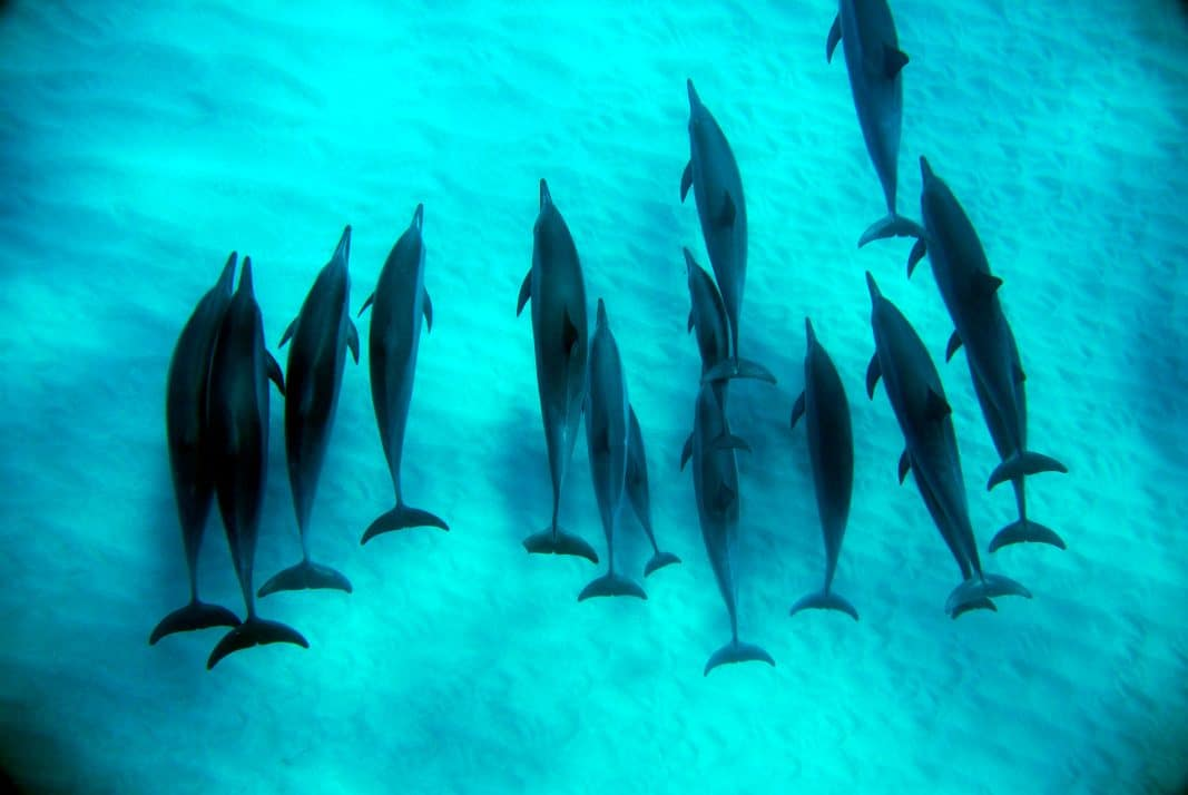 a large pod of spinner dolphins swimming under water near the sandy ocean floor