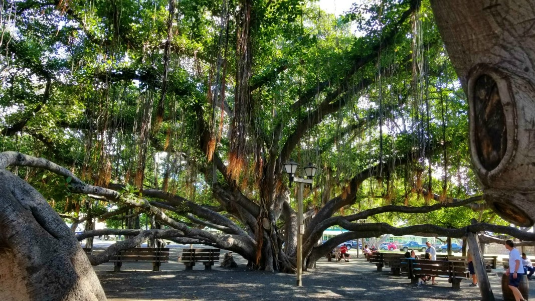 giant banyan tree in Lahaina, Maui