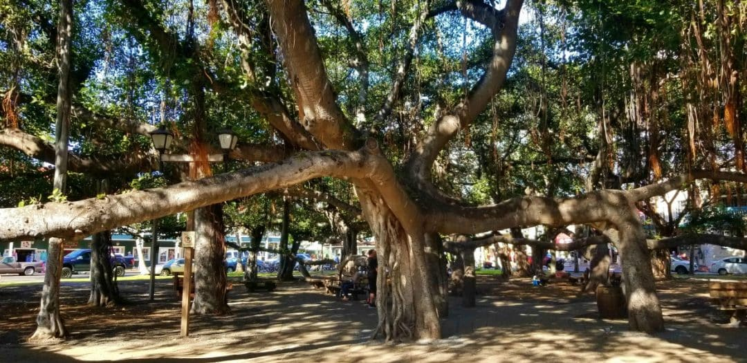 giant banyan tree with many trunks in Lahaina, Maui
