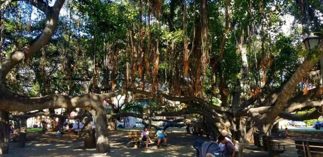 giant banyan tree with many trunks and huge canopy in Lahaina Maui