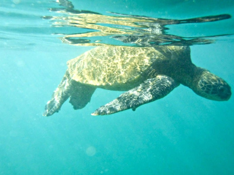 a sea turtle just under the surface of the ocean