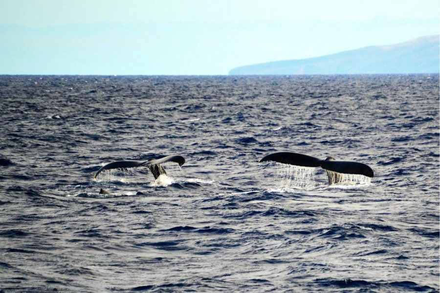 two whale flukes dripping water in the ocean
