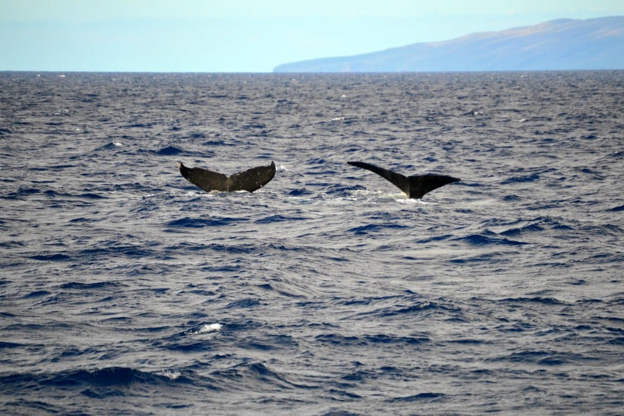 two whale flukes in the ocean